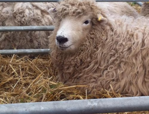 The 93rd Annual Show and Sale of Greyface Dartmoor Sheep