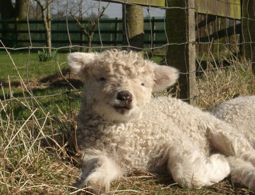 Watery Mouth in the new born lamb
